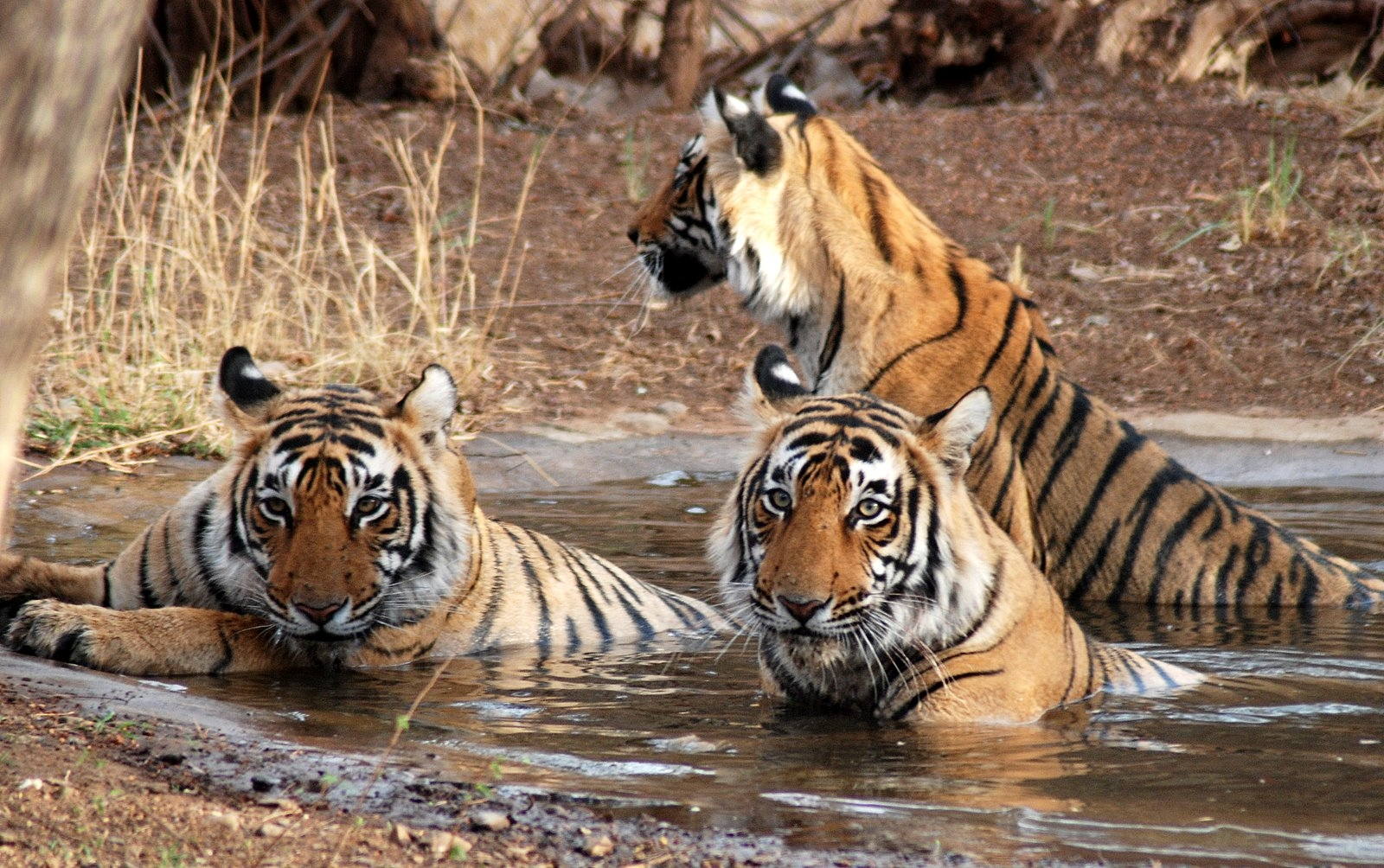 Tigers at Kanha National Park