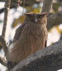Brown Fish Owl at Corbett National Park