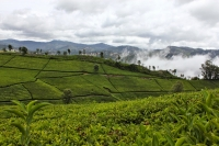 Tea Plantations, Coonoor
