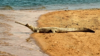 Gharial at National Chambal Sanctuary