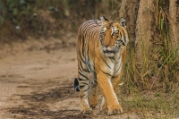 Bengal Tiger at Jim Corbett National Park