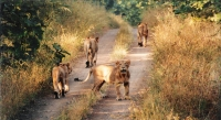 Gir Forest National Park and Wildlife Sanctuary, Western India